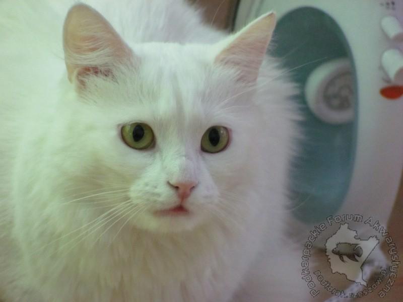 kupię kota persa