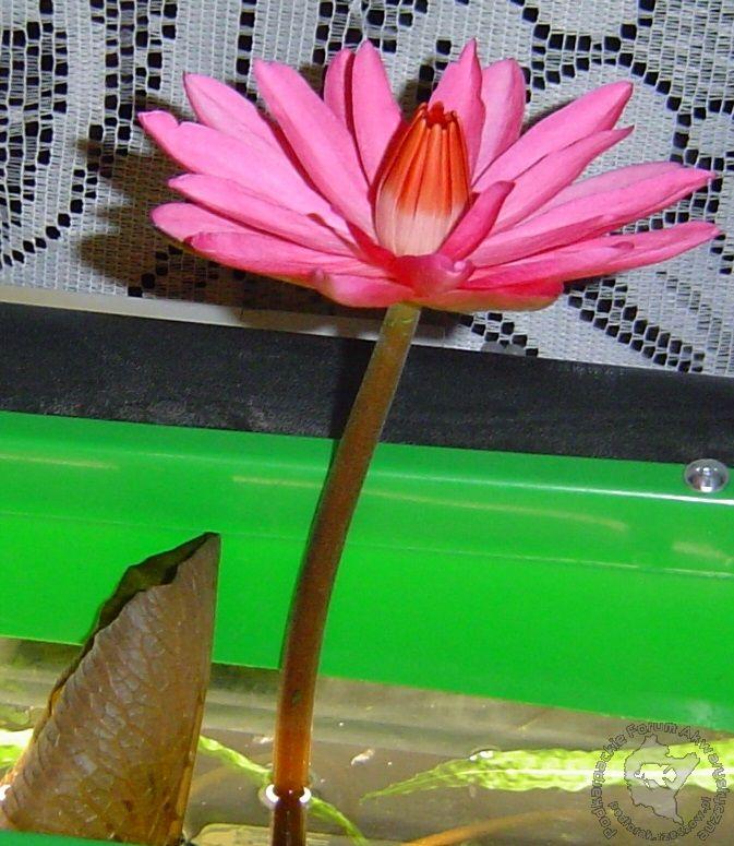 Kwiaty Naszych Roslin W Akwarium Podkarpackie Forum Akwarystyczne
